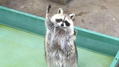 沙雕动物搞笑配音:小浣熊倒立上厕所,专家说