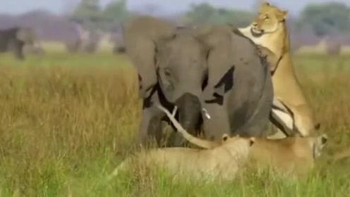 狮子与大象大战,狮子后来居然发现低估了大象的战斗力