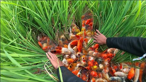 男子田间游玩,捕获一堆金鱼,这下发财了