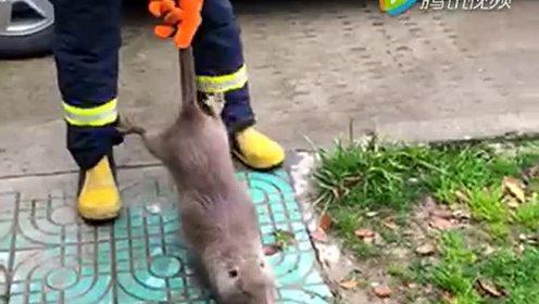 震惊!这是鼠王吗?