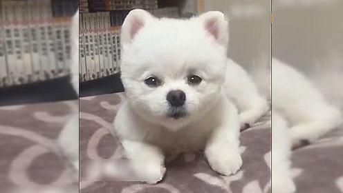 这只博美狗狗好可爱 心都被萌化了!