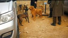 现如今养大狗的人少了吗?漂亮的金毛和强壮的黑狼都论斤卖了