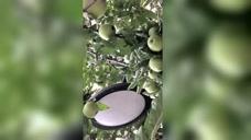 小苹果.一疙瘩一疙瘩的青苹果,压弯了房前苹果树的枝干。