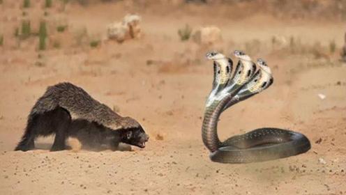 """眼鏡王蛇的三大天敵,""""平頭哥""""只能排第二,第一名令人聞風喪膽!"""