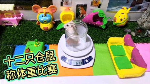 趣味视频:十二只仓鼠称体重大比拼,没想到这只仓鼠的体重竟一只顶三只?