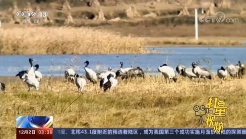 贵州威宁:700多只黑颈鹤飞抵草海,开启越冬生活