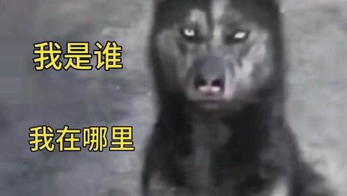 动物搞笑  爆笑配音  非洲二哈