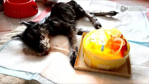 感人!主人为17岁老狗唱最后一次生日歌