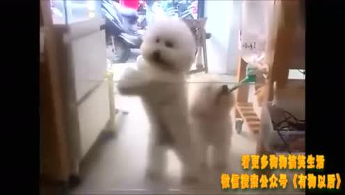 比熊跳舞 你们看萌不萌?