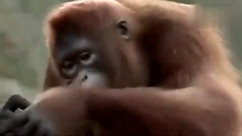 大猩猩跳舞搞笑动物笑死人不偿命