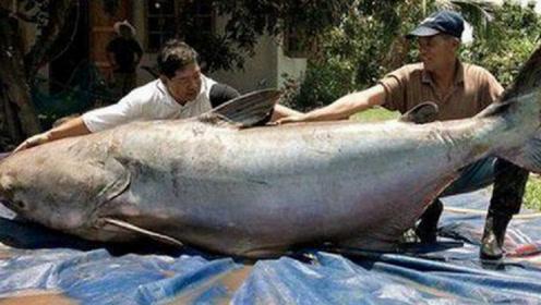 世界上最大的淡水鱼,最重可达2000斤