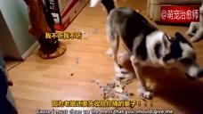 主人想批评咬坏沙发的哈士奇,没想到它还顶嘴吵架
