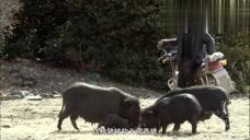 第三极:藏香猪记忆真好,几个月不见都认得到主人!