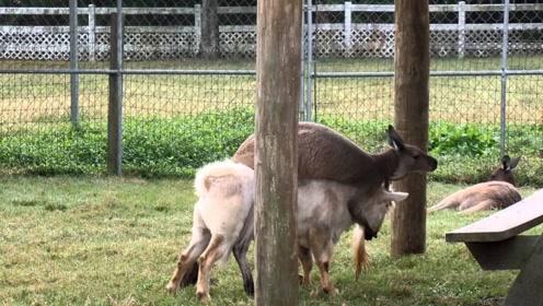 终于找到能制服公羊的动物,把羊治得乖乖的,
