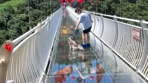二哈挑战玻璃栈道,被吓得腿都哆嗦太搞笑,狗
