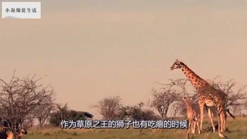长颈鹿遇上饥饿的雄狮,来一只踢一只,镜头记