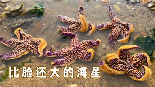 赶海发现一串海螺家族,沙滩上到处都是海星,每个都比脸大!