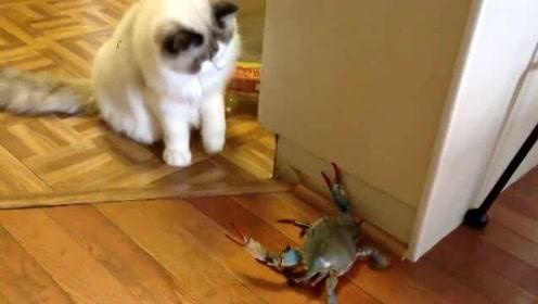 搞笑动物:猫咪遇上螃蟹会发生什么?这画面太