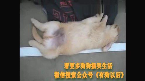 狗狗睡觉梦游,脚不停地蹬来蹬去,超可爱!