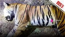 印度雌虎2年内咬死13人 被猎人射杀村民放鞭炮欢