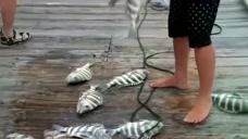 男子海边捕鱼,一网下去就是十几条,再一网下去又是十几条!