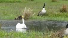 家鹅与大雁有生殖隔离吗?白鹅产下的蛋变成了花鹅蛋!