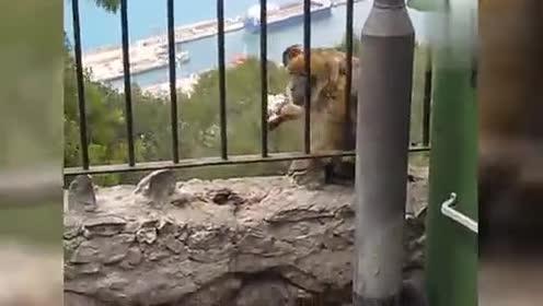 搞笑动物集合!猴哥又来搞破坏!