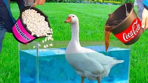 老外奇葩实验,将曼妥思倒在鸭子上会变成什么样?网友:长见识了