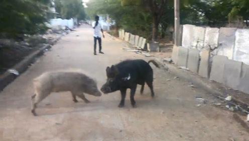 主人把家猪和野猪一起养,没想到发生惨烈一幕