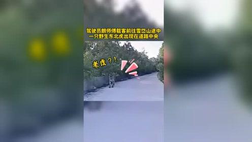 真·攔路虎!的哥開車路遇野生東北虎:我們和它對視二十分鐘
