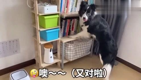 这狗不去上清华可惜了,简直太聪明了!