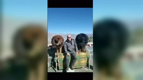 在西藏旅游拍到的藏獒,这体型太霸气了,这才是藏獒该有的样子!