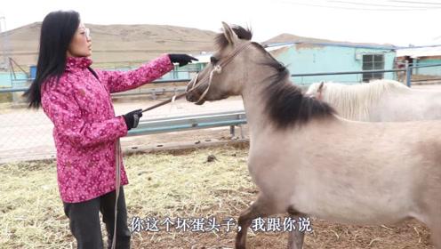 为旅游项目采购10匹矮马,每个都不是省油的灯,要靠美丽来驯服