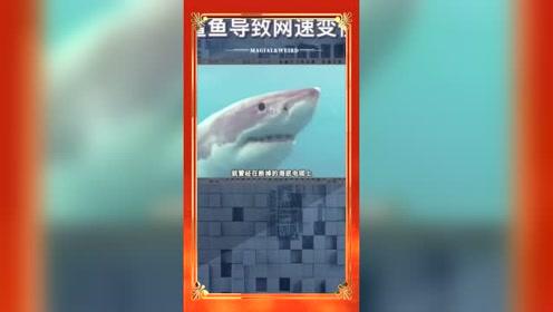 让网速变慢的原因,居然和鲨鱼有关