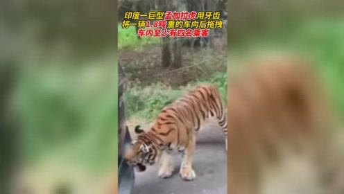 老虎用牙齿将一辆1.8吨重的车向后拖拽 车内至少有四名乘客