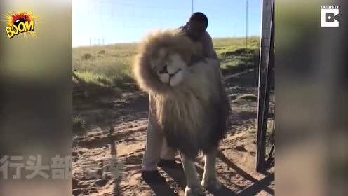 老虎屁股摸不得?他敢给狮子做按摩