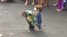 搞笑可爱的小猴子表演摩托特技,太炫酷了