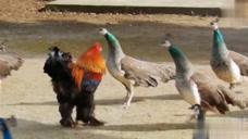 一群孔雀,竟然被一只鸡欺负,传出去太没面子了!