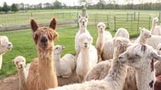 骆驼科难道没有生殖隔离?这种事情不存在的,我们骆驼家族乱得很