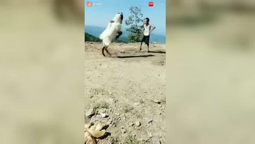 爆笑:这羊成精了连小孩都打?