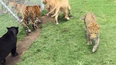 饲养员犯糊涂了?把老虎、豹子、狮子关一起,下一秒意外发生