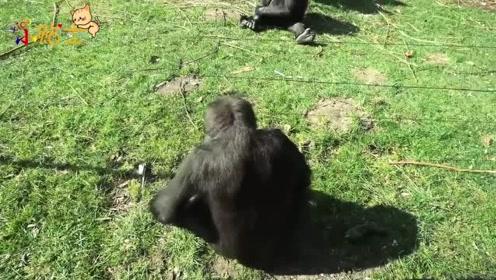 黑猩猩能轻松的越过电线网,看来它已经学会如