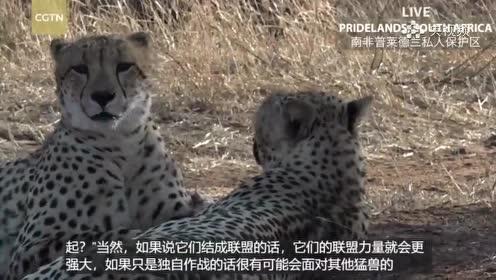 猎豹兄弟俩会一辈子待在一起共同生活吗?
