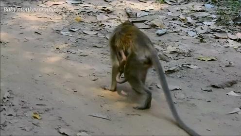 可怜的小猴子被母猴绑架狂虐,猴宝宝痛苦挣扎撕心裂肺地哭泣