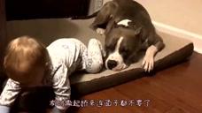 斗牛犬为了逗笑小宝宝,撒起娇来面子都不要了,网友:没救了