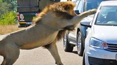 作死游客停车给狮子拍照,下一秒意外发生了,镜头拍下全过程