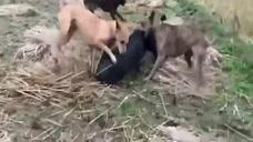 五头猎犬围攻一头野猪,野猪实在是太勇猛了,招架不住啊!