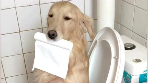 金毛上厕所都能打瞌睡,太搞笑了