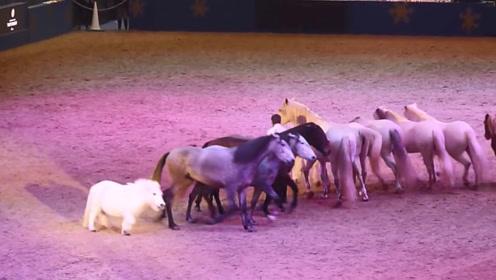 奇怪小胖马混进马展,在一群骏马中格外引人注