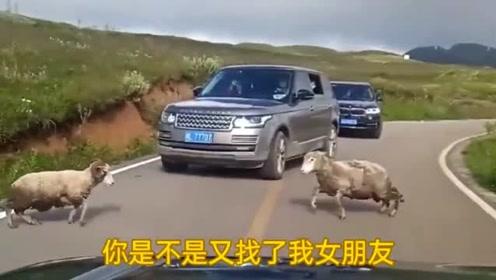在去西藏路上,碰见两头公羊打架,简直太搞笑